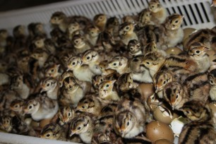 October Game Vet Blog Post: Do Chicks Need to Fly?