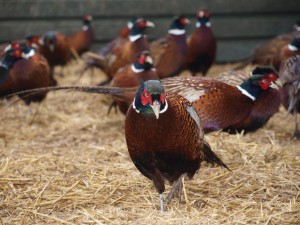 Game Bird Pictures 011