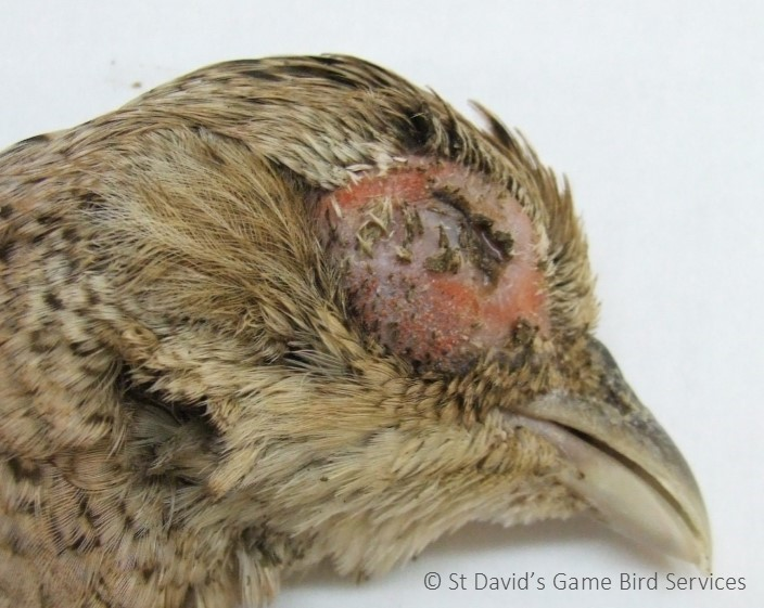 Game vet blog - St David's Game Bird Services