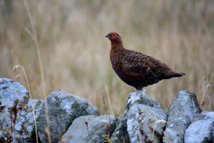 Mycoplasma update and some interesting news from the grouse moors